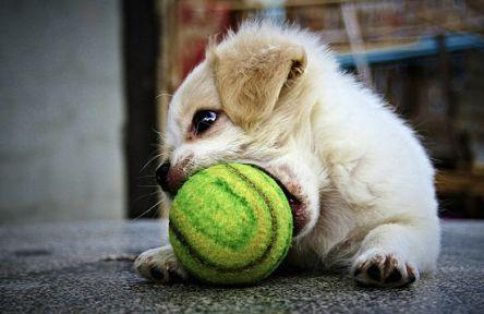 Dog-playing-tennis